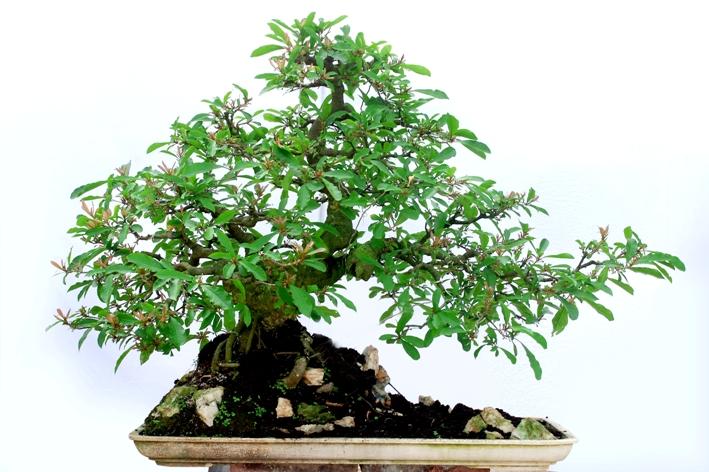 Làm giàu từ cây bonsai ngày Tết