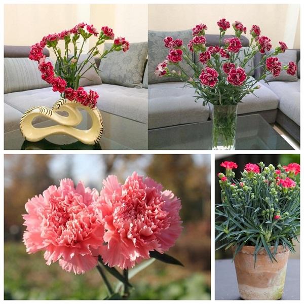 Bật mí 2 cách cắm hoa cẩm chướng được lựa chọn nhiều nhất hiện nay