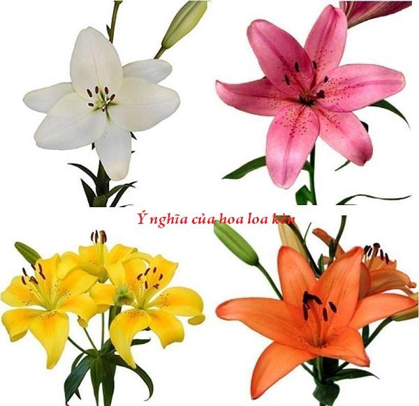 Hoa loa kèn được sử dụng nhiều bởi vẻ đẹp kiêu sa ẩn chứa nhiều ý nghĩa sâu sắc