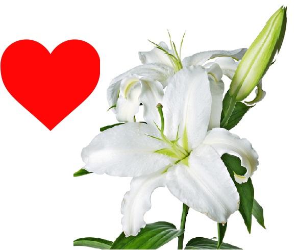 Hoa loa kèn trắng tượng trưng cho tình yêu, lòng thủy chung son sắc và sự tha thứ