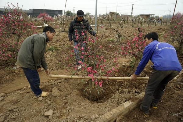 cách chăm sóc đào ra hoa đúng Tết