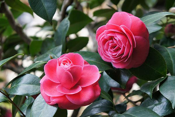 Cây hoa Trà Đỏ phù hợp với những người mệnh Hỏa