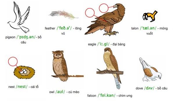 Tên các loài chim bằng tiếng Anh
