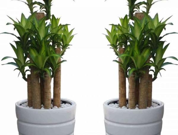 Cây thiết mộc lan giúp mang lại một không gian sống trong lành cho gia chủ
