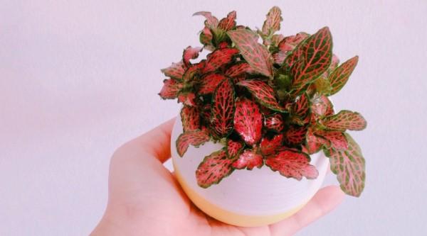 Cây cẩm nhung đỏ mang màu tương sinh của mệnh Thổ