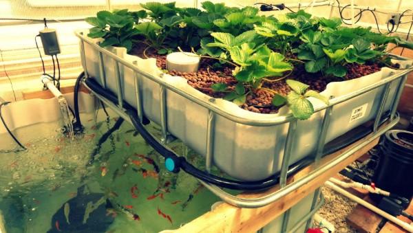 mô hình trồng rau sạch Aquaponics