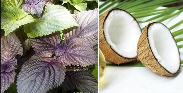 Lá tía tô kết hợp dầu dừa giúp bạn trị mụn hoàn toàn